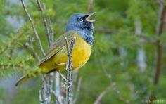 macgillivray's warbler (oporornis tolmiei)   Flickr - Photo Sharing!