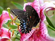 Beautiful butterfly and Stargazer Lily