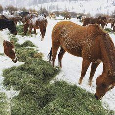 Hungry, fuzzy horses. #clazyu #ranchlife #coloradogram @ C Lazy U Ranch