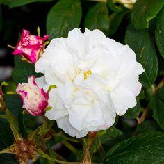 Louise Bugnet ros