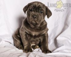 #CaneCorso #Charming #PinterestPuppies #PuppiesOfPinterest #Puppy #Puppies #Pups #Pup #Funloving #Sweet #PuppyLove #Cute #Cuddly #Adorable #ForTheLoveOfADog #MansBestFriend #Animals #Dog #Pet #Pets #ChildrenFriendly #PuppyandChildren #ChildandPuppy #LancasterPuppies www.LancasterPuppies.com Italian Mastiff Puppies, Mastiff Puppies For Sale, Cane Corso Italian Mastiff, Cane Corso Puppies, Lancaster Puppies, Animals Dog, Mans Best Friend, Larry, Puppy Love