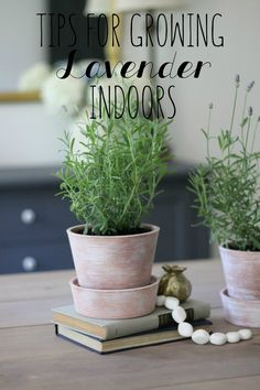 Easy tips for growing Lavender indoors + white-washing how-to