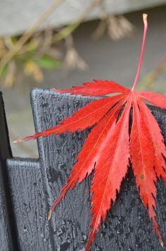 Acer autumn leaf