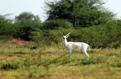 An albino blackbuck in Indian savannah.