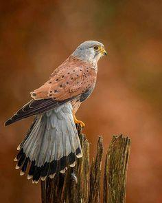 Kestrel (Falcon family)