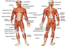 My Body: Muscles. I have lots of muscles in my body. Muscles move my body. Muscles join onto bones. They pull the bones to make my body move. Muscle Diagram, Body Diagram, Human Muscular System, Human Body Systems, Human Body Muscles, Major Muscles, Arm Muscles, German Volume Training, Human Body Lesson