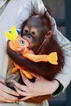Orange baby orangutan love.