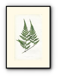Edward Joseph Lowe Fern (Davallia Dissecta.--Pinnae) Antique Botanical Print, 1860 Wood Block Engraving, Book Plate by TheOldMapShop on Etsy