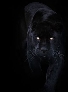 A black panther is typically a melanistic color variant of any Panthera species. Black panthers in Asia and Africa are leopards (Panthera pardus). Black panthers in the Americas are black jaguars (Panthera onca). Black Animals, Animals And Pets, Cute Animals, Puma Animal Black, Black Jaguar Animal, Black Puma, Wild Animals, Black Panthers, Black Tigers