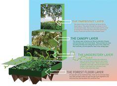 amazon rainforest infographic | layers-of-the-rainforest.jpg