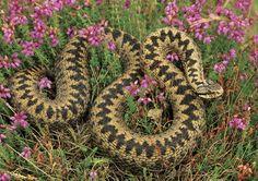 most dangerous snakes