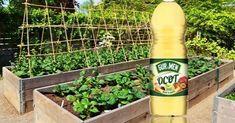Mustard, Flowers, Lawn And Garden, Mustard Plant