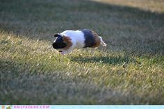 This guinea pig who is momentarily stunned by his ability to defy gravity. The 24 Most Important Guinea Pigs In The Entire World Animals Of The World, Animals And Pets, Baby Animals, Funny Animals, Cute Animals, Pig Pics, Guinea Pig Clothes, Baby Guinea Pigs, Cute Piggies