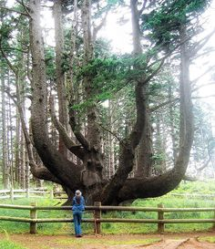 Octopus tree cape mears oregon