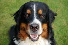 hond  lange haren