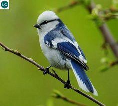 https://www.facebook.com/WonderBirdSpecies/ Azure tit || Бе́лая лазо́ревка (Cyanistes cyanus); Russia and central Asia; IUCN Red List of Threatened Species 3.1 : Least Concern (LC)(Loài ít quan tâm) || Bạc má thiên thanh; Nga và Trung Á; Họ BẠC MÁ-PARIDAE (Tits, Chickadees, Titmice).