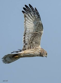 """PIED HARRIER (F)""    DEMAND THAT PINTEREST SHOWS YOU TOP ITEMS PINNED! NO LONGER POSTING AS I CANNOT SEE POPULAR ITEMS INCLUDING RECIPES AND OTHERS Beautiful Birds, Animals Beautiful, Vertebrates, Birds Of Prey, Raptors, Animal Kingdom, Owls, Elephant, Horses"