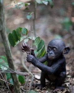 Bonobo infant