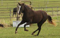 Mountain Pleasure Horse gelding Cacao