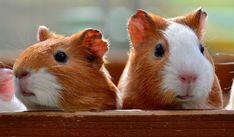 Guinea Pig ısırır mı?