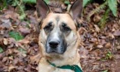 WASHINGTON ~ Adopt Tye from the Seattle Humane Society!  He's a 2-year-old German Shepherd who is ready to meet you with lots of tail wags! Tye is a very handsome boy, and is eager to share in all of your adventures. He has a lot of energy for exploring the world and would do well with an active adopter. Come meet Tye at the        Seattle Humane Society 13212 SE Eastgate Way Bellevue, WA 98005 ph 425-641-0080
