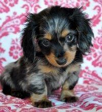 mini dachshund <3