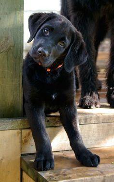 I just love black labs!: Black Lab Puppy, Black Labs Dogs, Head Tilt, Labrador S, Lab S, Black Lab Puppies, Labrador Retrievers, Aww Labs, Animal