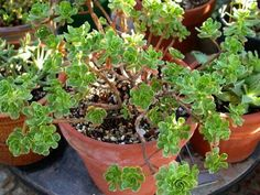 Aeonium spathulatum is a branching succulent shrub up to 3 feet (90 cm) tall, with spoon shaped leaves up to 1.2 inches (3 cm) long, that...