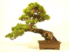 """""""Shakan"""" is words to express the form of the Bonsai. """"Shakan"""" is form expressing that a tree feels wind. $520."""