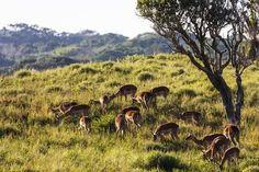 Lucia Wetland Park, UNESCO World Heritage Site, South Africa by Christian Kober : Safari Animals, Wild Animals, Wetland Park, Kwazulu Natal, Thing 1, Impala, African Animals, Gloss Matte, Mammals