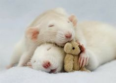 Posing pet rats with teddy bears is a thing? Apparently so, and it's cuter than you'd think.