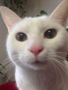 my lips are sexy!  #cat #pet #petsitter #setagayaku #cute #かわいい #猫 #白猫