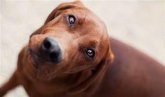 Redbone coonhound (Anita Peeples / Animal Photography)