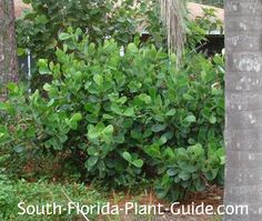 Clusia - These salt-tolerant, evergreen shrubs will grow in full sun to part shade. They're drought tolerant shrubs, moderate to fast growers that do best in Zone Florida Landscaping, Outdoor Landscaping, Landscaping Plants, Landscaping Ideas, Fast Growing Evergreens, Fast Growing Trees, Evergreen Landscape, Evergreen Shrubs, Privacy Hedges Fast Growing