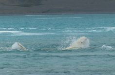 "Beluga whale in ""banana"" pose. #Vancouver #Aquarium researcher studies whale sounds in the #Arctic"