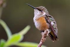 Foto estrelinha-ametista (Calliphlox amethystina) por Ernani Oliveira | Wiki Aves - A Enciclopédia das Aves do Brasil