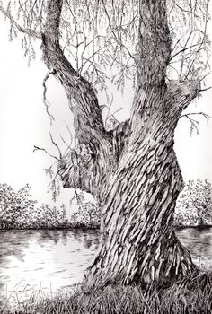 White willow in pen and ink Old Trees, Tree Leaves, Ink Pen Drawings, Prints, Outdoor, Sketching, Chloe, Portraits, Illustrations