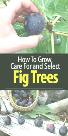 Growing Fig Trees, Tree Care, Garden Care, Swag, Outfit, Design, Fig Tree, Nursing Care, Lawn And Garden