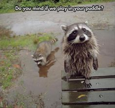 Awww his face! Go ahead, cute raccoon! Follow for more funny pet videos  >>> @gwylio0148