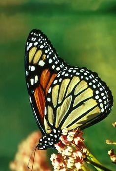 monarch butterfly  | Monarch Butterfly - Danaus plexippus | Wildlife Journal Junior