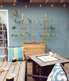 espalier fruit tree on back patio                                                                                                                                                                                 More