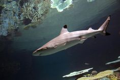 Our newest residents, 20 blacktip reef sharks, are built for speed! Learn how in today's blog post from shark expert, Holly Bourbon!