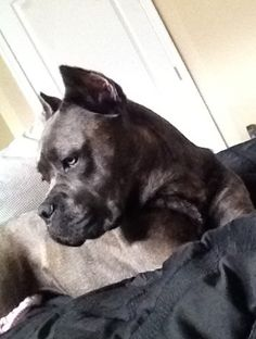 It's a Cane Corso. Not a Pit Bull, not a Douge de Bordeaux, not a mix, it's a Cane Corso Beautiful Dog Pictures, Most Beautiful Dogs, Animals Beautiful, Cute Animals, Amazing Dogs, Cane Corso Italian Mastiff, Cane Corso Mastiff, Cane Corso Dog, Big Dogs