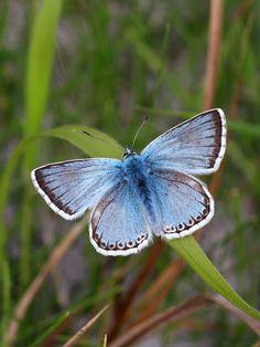 Chalkhill Blue Lysandra coridon.