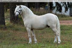 Welsh Mountain Pony (section A) stallion Moondelight Tawanda
