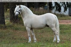 Welsh Mountain Pony (section A) stallion Moondelight Tawanda