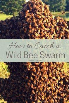 How to Catch a Wild Bee Swarm
