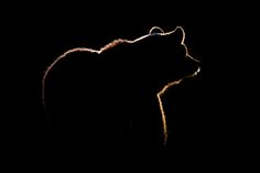 Silhouette of a brown bear. Photo by Gorazd Golob Artist Canvas, Canvas Art, Photo Animaliere, Great Shots, Face Cleanser, Eyeshadow Makeup, Animal Photography, Colour Photography, Beautiful Creatures
