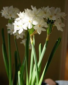 288 best paperwhites images on pinterest in 2018 daffodils do i smell paperwhites if i see paperwhites anywhere i will be very disappointed paperwhites are to me what freesias were to miranda priestly mightylinksfo