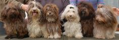 Chocolate Havanese party!  Burg wants an invite next time
